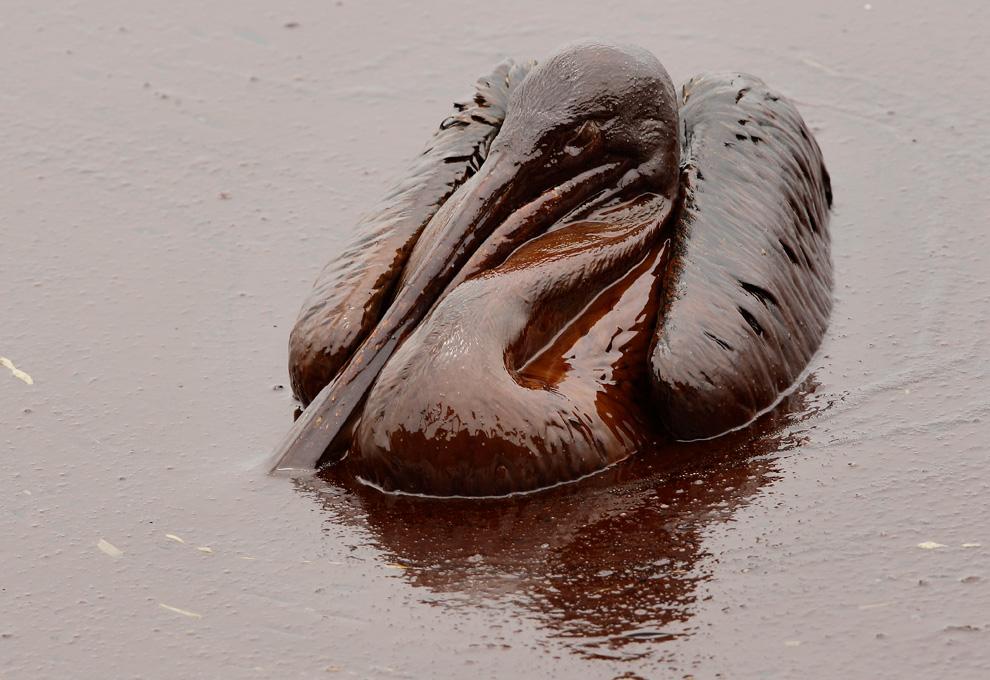 Dieser Pelikan sitzt mittem im Schweröl am Stand der East Grand Terre Island in Louisiana. Aufnahmedatum: Dienstag, 03. Juni 2010. (AP Foto/Charlie Riedel)