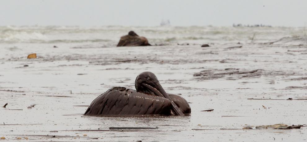Pelikan-Pärchen, komplett vom Öl umgeben, hält wacker im am Stand der East Grand Terre Island in Louisiana durch. Aufnahmedatum: Dienstag, 03. Juni 2010. (AP Foto/Charlie Riedel)
